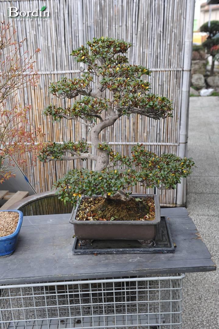 Bonsai da esterno bordin garden vivai for Articoli da esterno