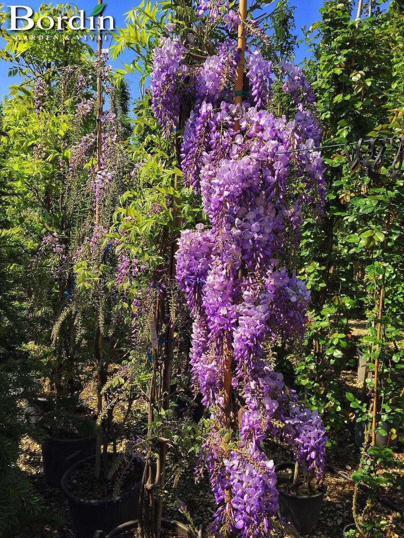 Piante Rampicanti Da Esterno piante rampicanti - bordin garden & vivai