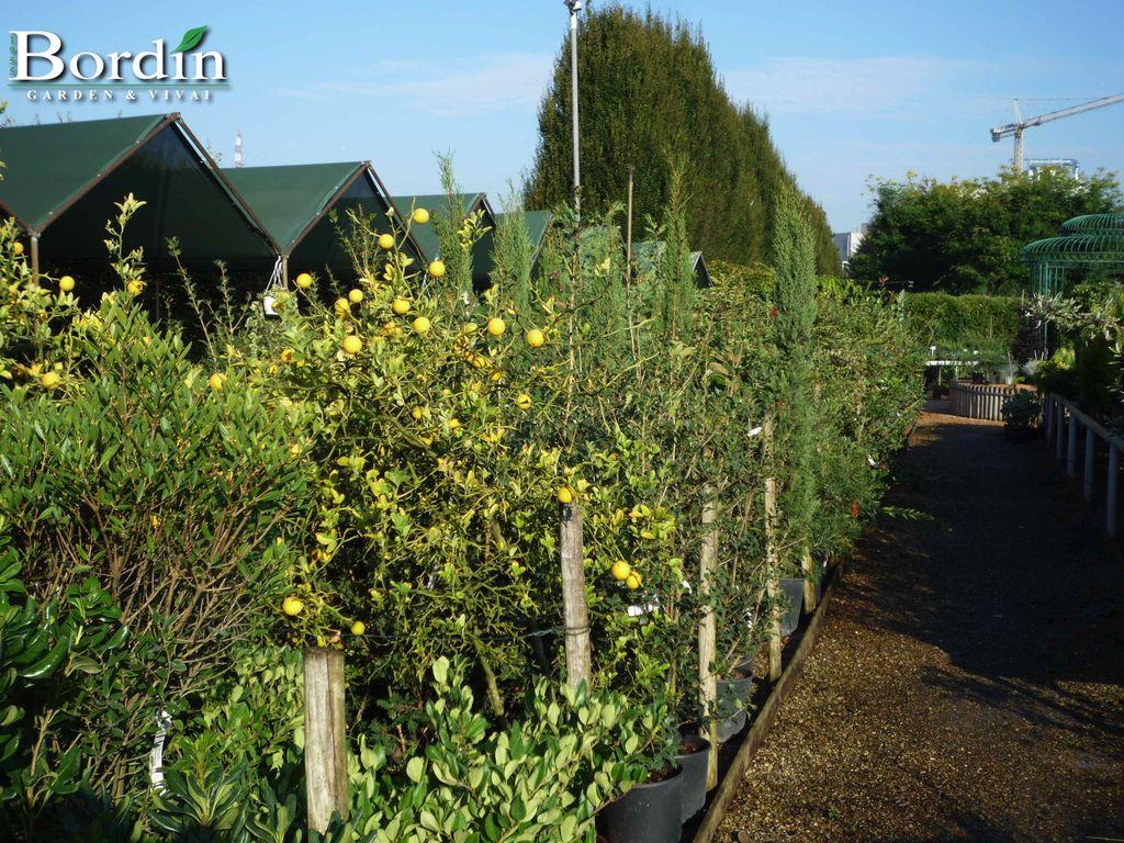 Piante da siepe bordin garden vivai for Piante siepe